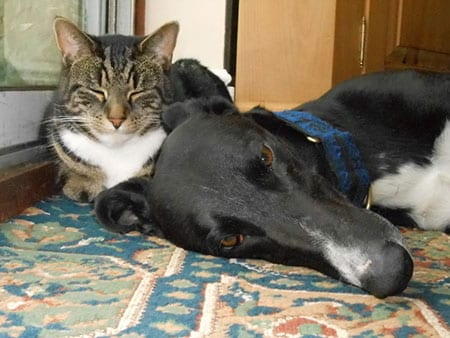 Greyhound and lurchers living with cats