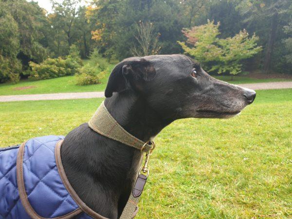Greyhound & Lurcher Collars
