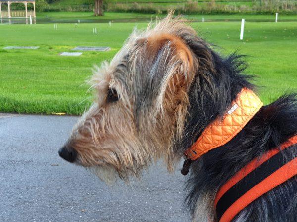 DO&G Greyhound Collars